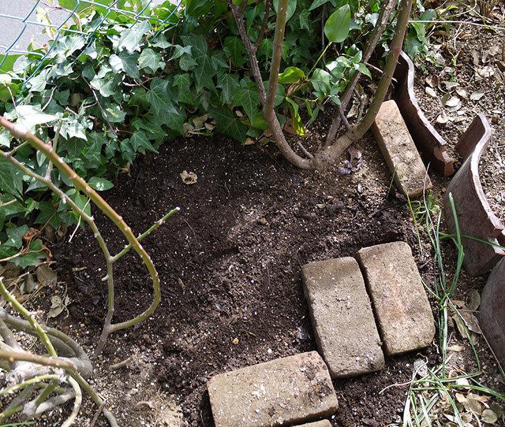 つるジュリア(ツルバラ)に穴を掘って寒肥をやった。2017年-12.jpg