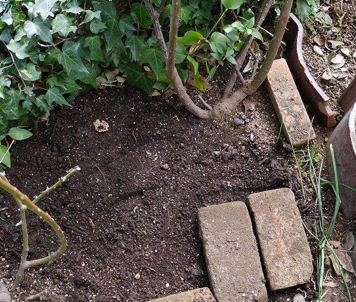 つるジュリア(ツルバラ)に穴を掘って寒肥をやった。2017年-13.jpg