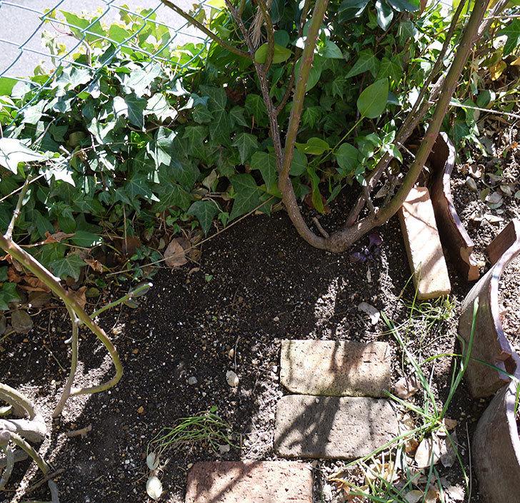 つるジュリア(ツルバラ)に穴を掘って寒肥をやった。2017年-2.jpg