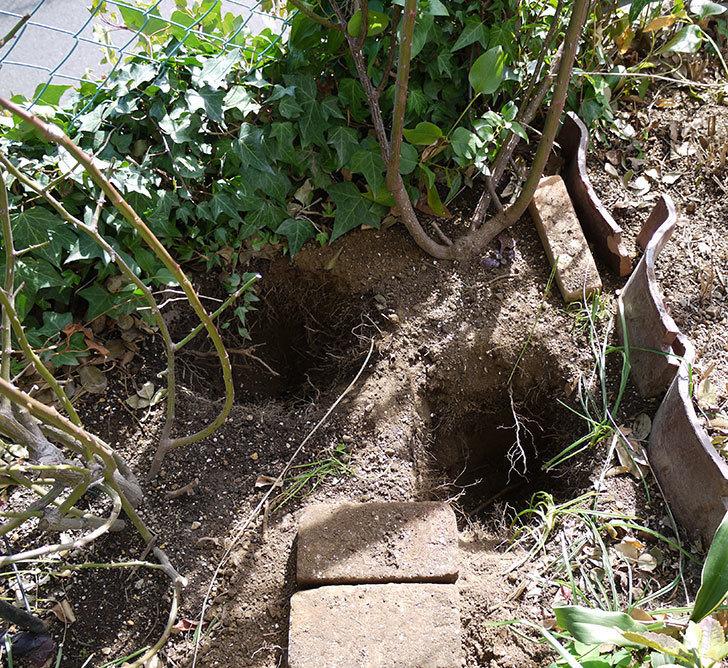つるジュリア(ツルバラ)に穴を掘って寒肥をやった。2017年-3.jpg