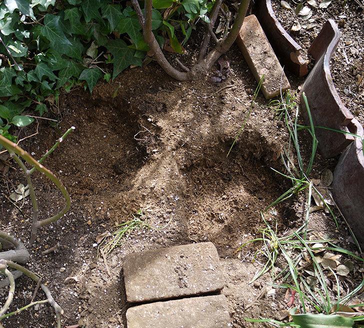 つるジュリア(ツルバラ)に穴を掘って寒肥をやった。2017年-7.jpg