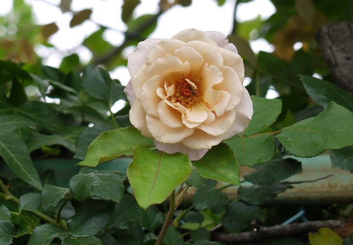 つるジュリア(ツルバラ)の2番花が咲いた。2016年-1.jpg