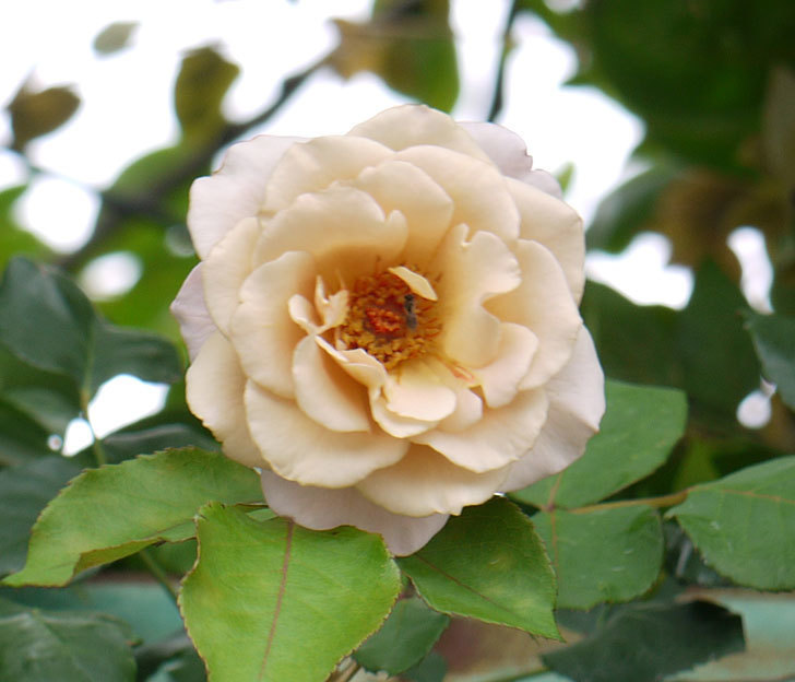 つるジュリア(ツルバラ)の2番花が咲いた。2016年-2.jpg