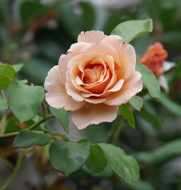 つるジュリア(ツルバラ)の2番花が咲いた。2019年-1.jpg