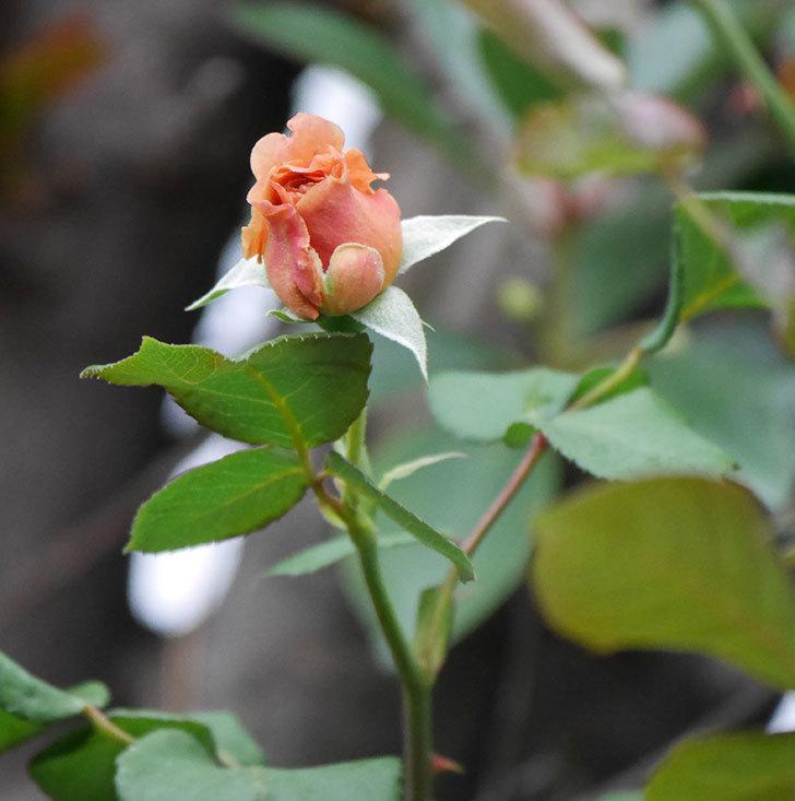 つるジュリア(ツルバラ)の2番花が咲いた。2019年-10.jpg