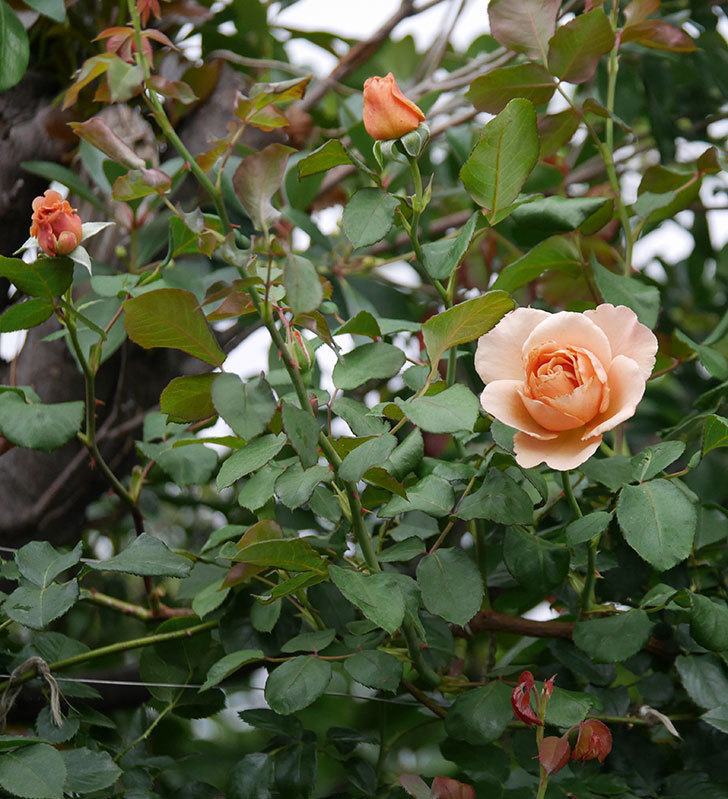 つるジュリア(ツルバラ)の2番花が咲いた。2019年-11.jpg