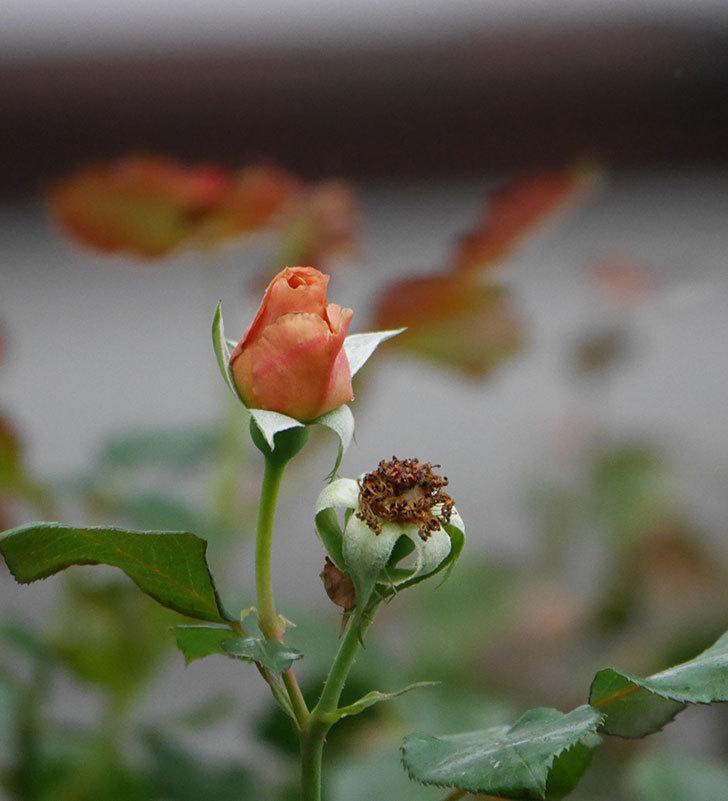 つるジュリア(ツルバラ)の2番花が咲いた。2019年-12.jpg