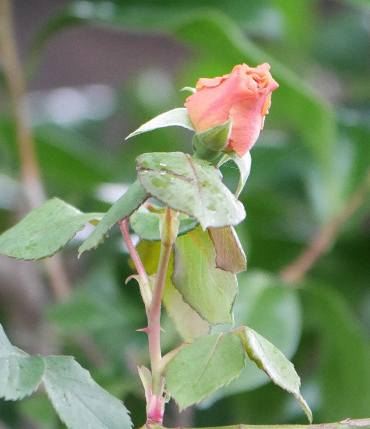 つるジュリア(ツルバラ)の2番花が咲いた。2019年-13.jpg