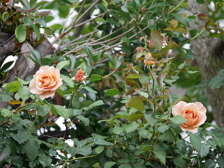 つるジュリア(ツルバラ)の2番花が咲いた。2019年-2.jpg