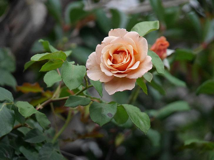 つるジュリア(ツルバラ)の2番花が咲いた。2019年-3.jpg