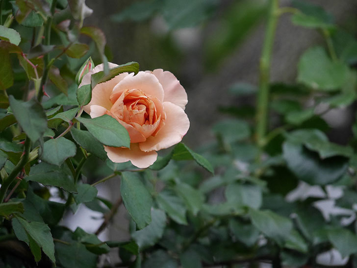 つるジュリア(ツルバラ)の2番花が咲いた。2019年-4.jpg