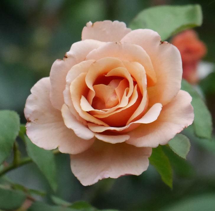 つるジュリア(ツルバラ)の2番花が咲いた。2019年-5.jpg