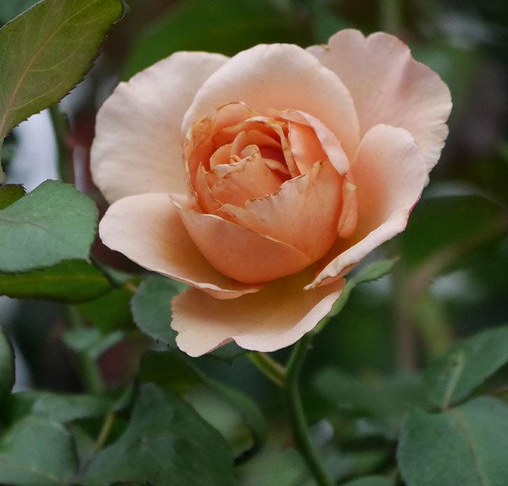 つるジュリア(ツルバラ)の2番花が咲いた。2019年-7.jpg