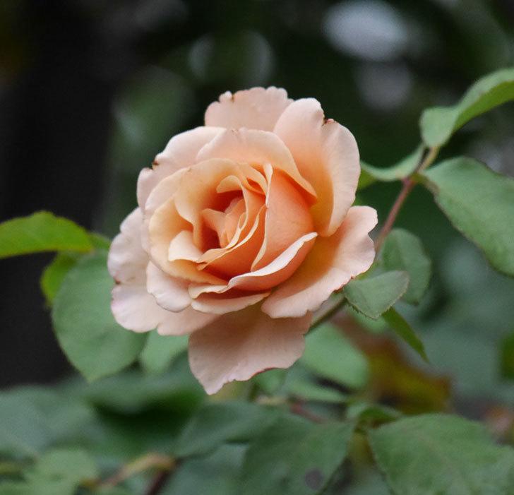 つるジュリア(ツルバラ)の2番花が咲いた。2019年-8.jpg