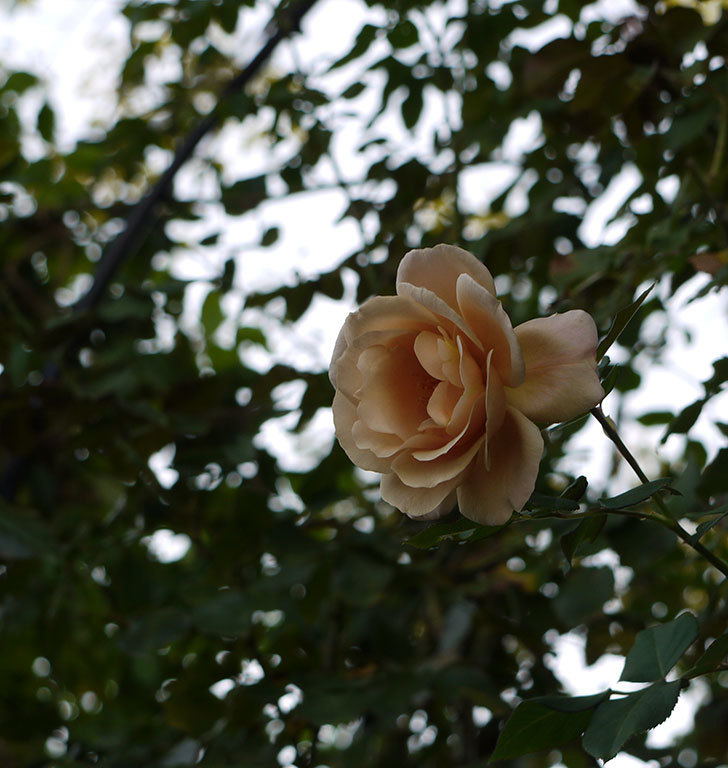 つるジュリア(ツルバラ)の秋花が1輪だけ咲いた。2016年-5.jpg