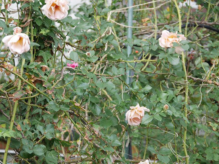 つるジュリア(ツルバラ)の秋花が咲いた。2018年-4.jpg