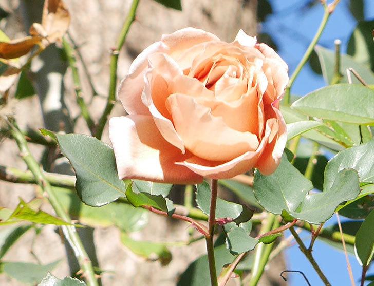 つるジュリア(ツルバラ)の花が1輪咲いた。2019年-2.jpg