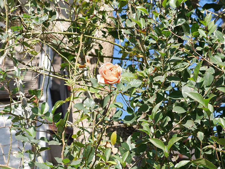 つるジュリア(ツルバラ)の花が1輪咲いた。2019年-3.jpg