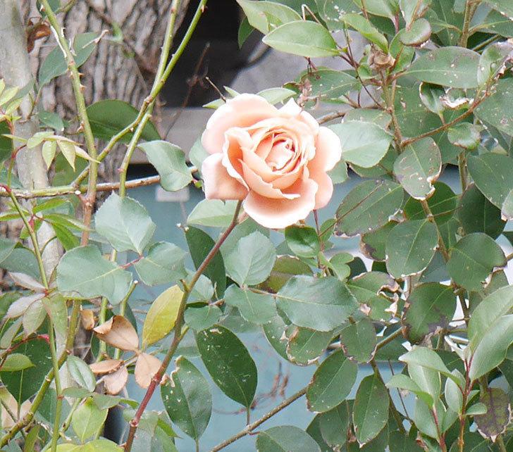 つるジュリア(ツルバラ)の花が1輪咲いた。2019年-4.jpg