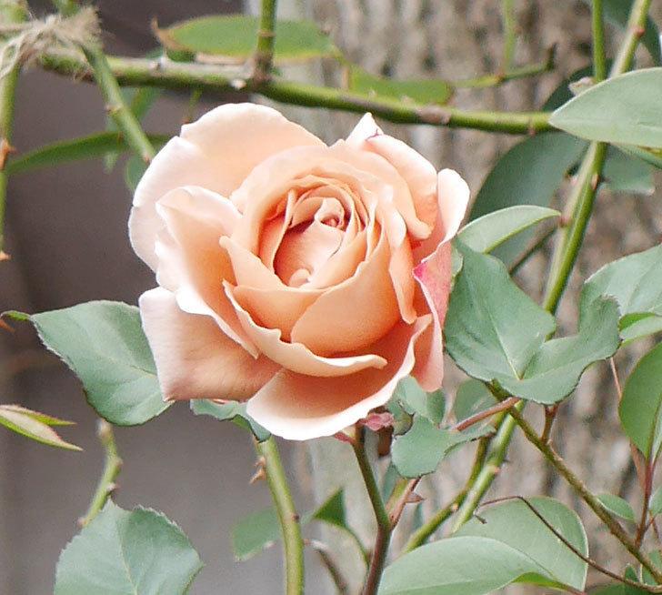 つるジュリア(ツルバラ)の花が1輪咲いた。2019年-5.jpg