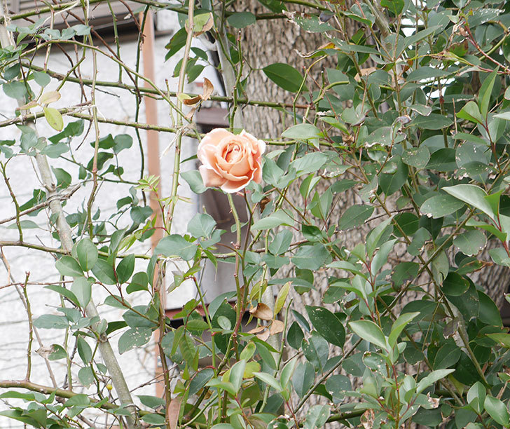 つるジュリア(ツルバラ)の花が1輪咲いた。2019年-6.jpg