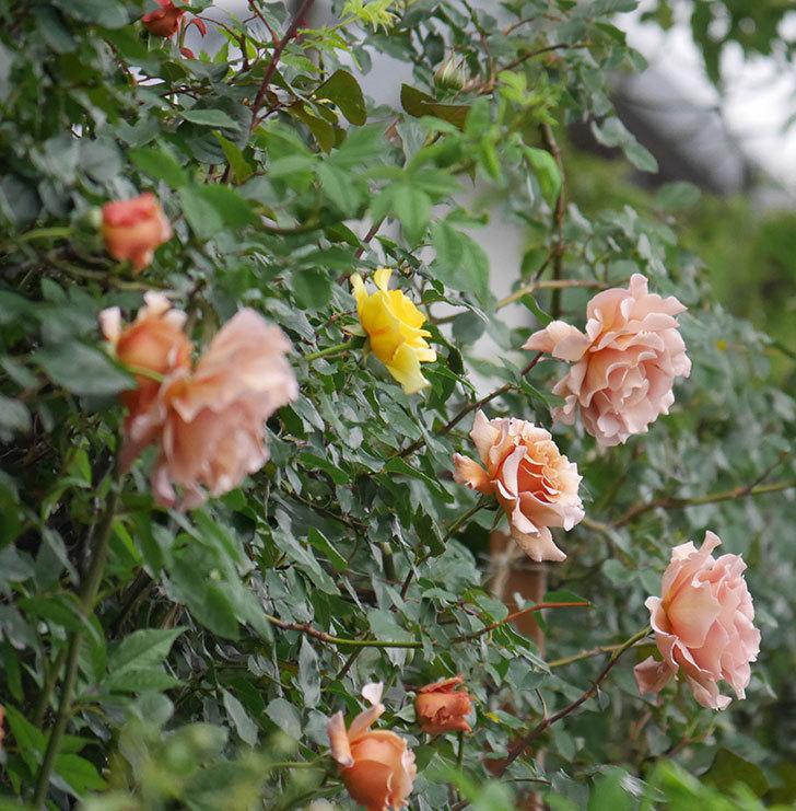 つるジュリア(ツルバラ)の花がたくさん咲いた。2020年-1.jpg