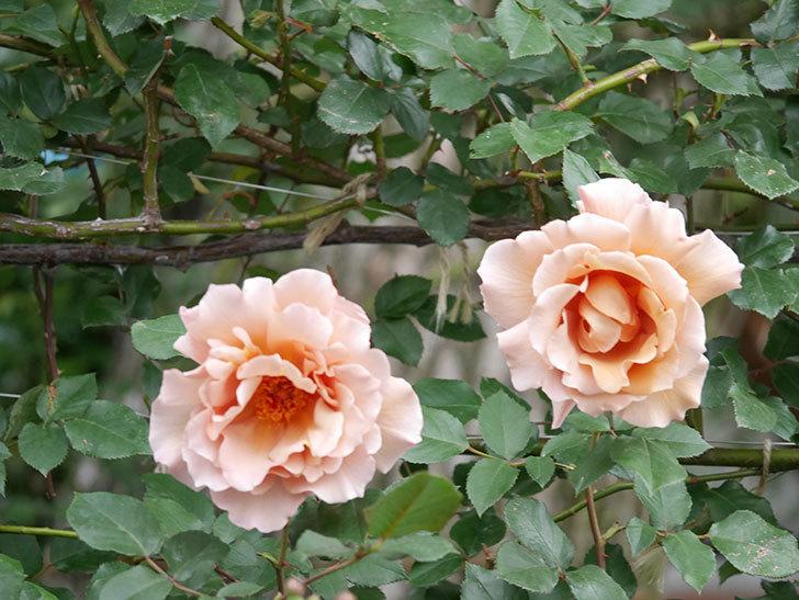 つるジュリア(ツルバラ)の花がたくさん咲いた。2020年-15.jpg