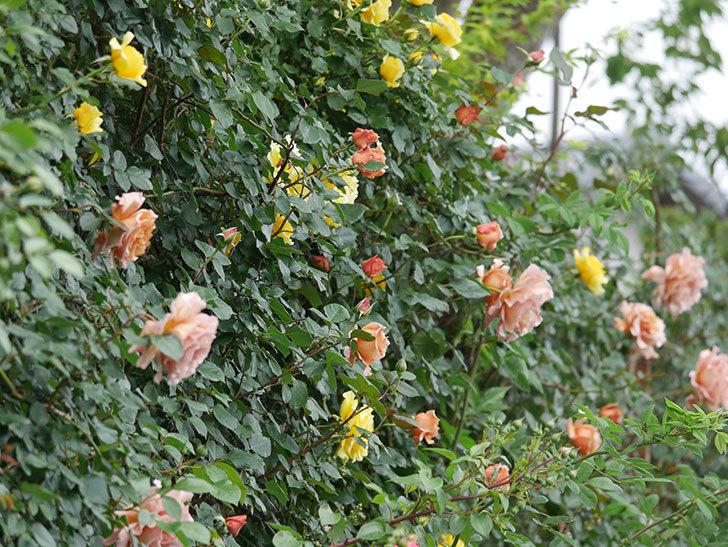 つるジュリア(ツルバラ)の花がたくさん咲いた。2020年-2.jpg