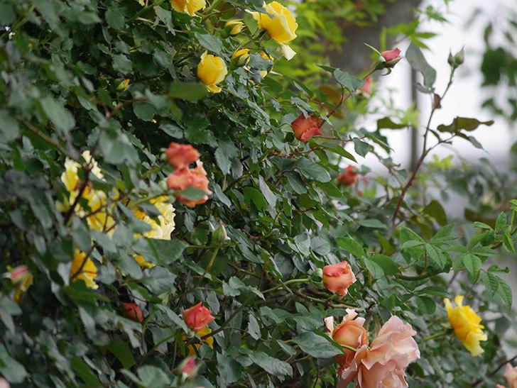 つるジュリア(ツルバラ)の花がたくさん咲いた。2020年-3.jpg