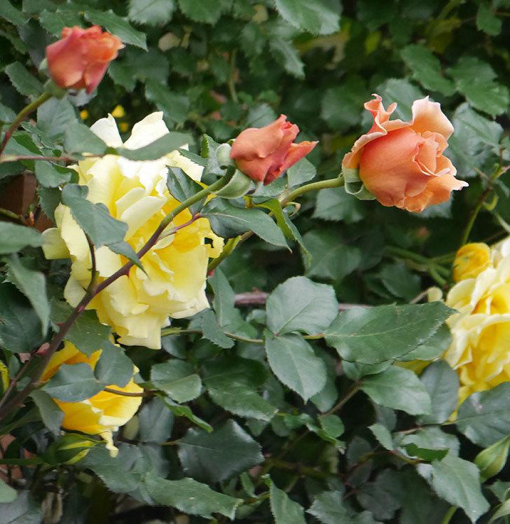 つるジュリア(ツルバラ)の花がたくさん咲いた。2020年-4.jpg