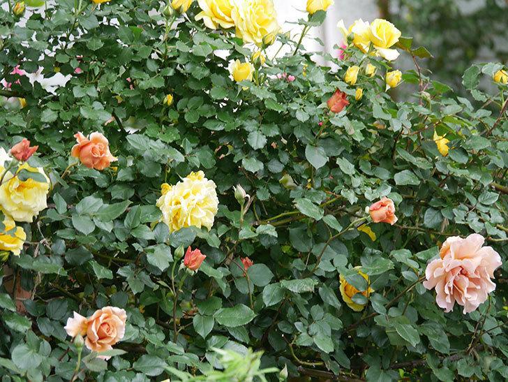 つるジュリア(ツルバラ)の花がたくさん咲いた。2020年-5.jpg