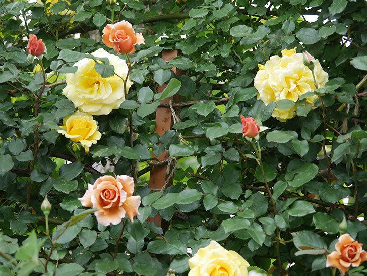 つるジュリア(ツルバラ)の花がたくさん咲いた。2020年-7.jpg