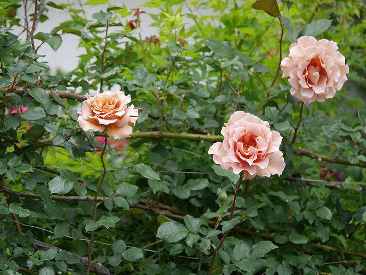 つるジュリア(ツルバラ)の花がたくさん咲いた。2020年-8.jpg