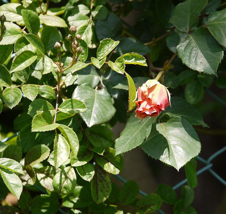 つるジュリア(ツルバラ)の花が咲いた。2017年-10.jpg