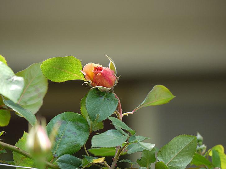 つるジュリア(ツルバラ)の花が咲いた。2017年-4.jpg