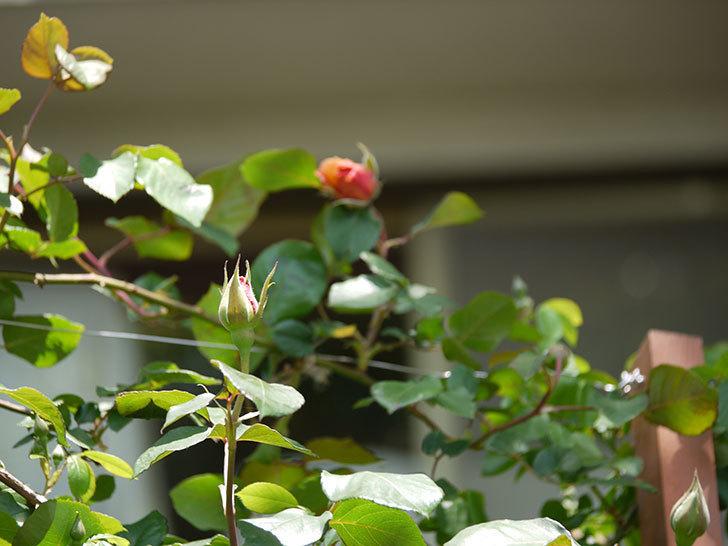 つるジュリア(ツルバラ)の花が咲いた。2017年-6.jpg