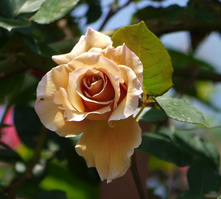 つるジュリア(ツルバラ)の花が咲いた。2018年-1.jpg