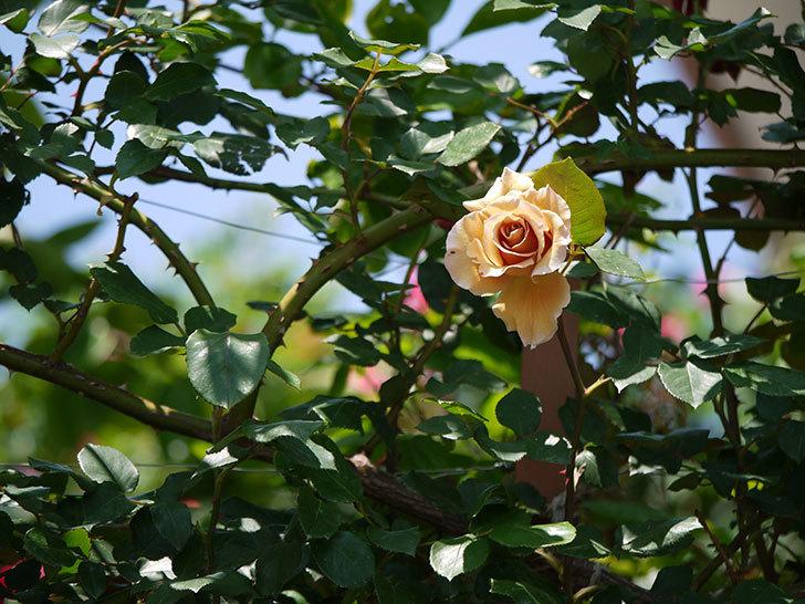 つるジュリア(ツルバラ)の花が咲いた。2018年-2.jpg