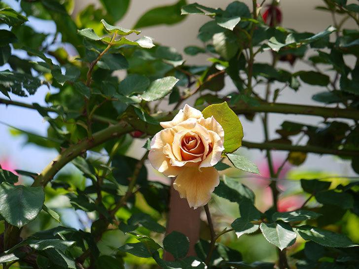 つるジュリア(ツルバラ)の花が咲いた。2018年-5.jpg
