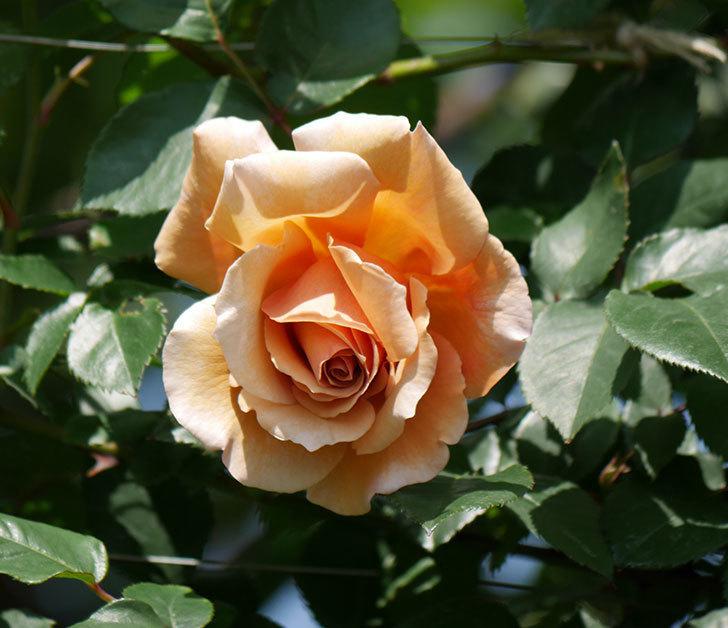 つるジュリア(ツルバラ)の花が咲いた。2019年-1.jpg
