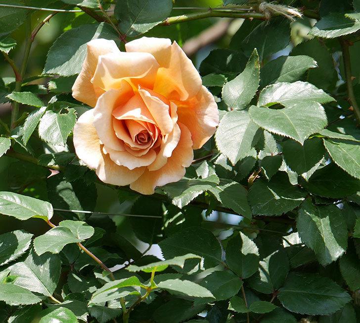 つるジュリア(ツルバラ)の花が咲いた。2019年-10.jpg