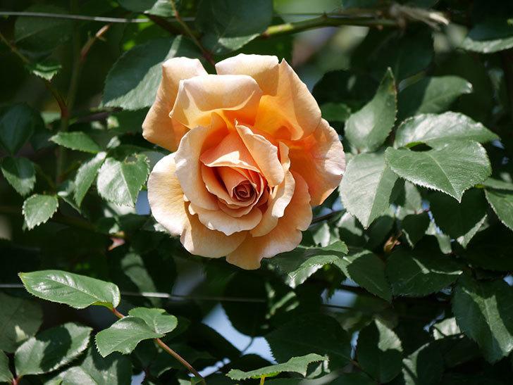 つるジュリア(ツルバラ)の花が咲いた。2019年-11.jpg