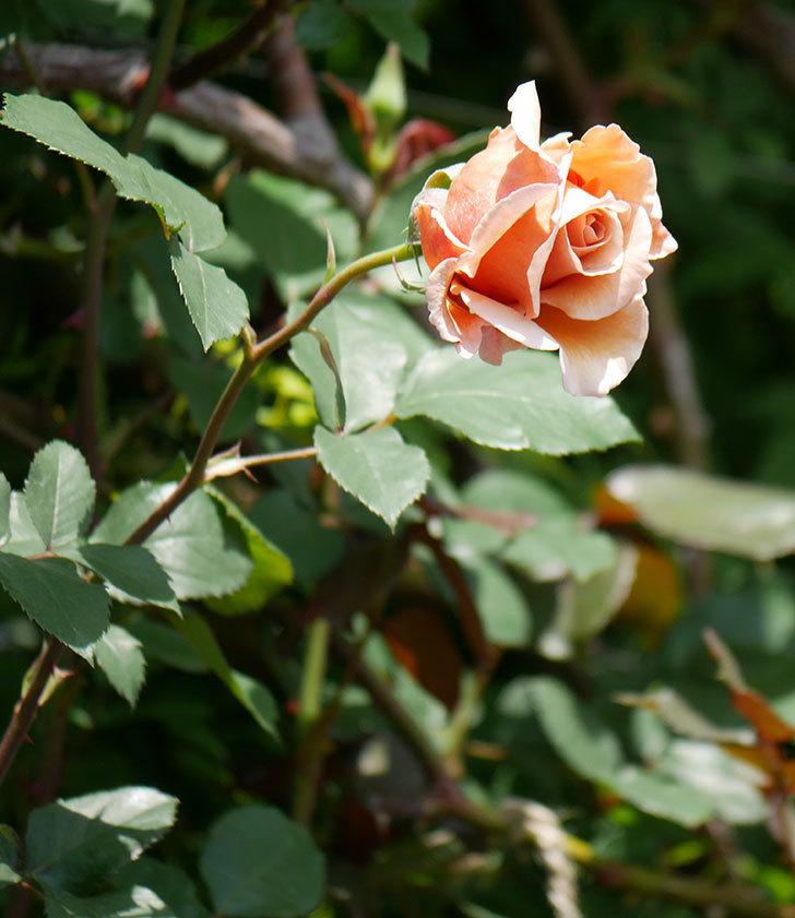 つるジュリア(ツルバラ)の花が咲いた。2019年-13.jpg