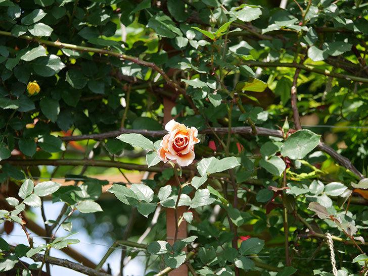 つるジュリア(ツルバラ)の花が咲いた。2019年-14.jpg