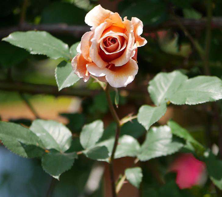 つるジュリア(ツルバラ)の花が咲いた。2019年-15.jpg