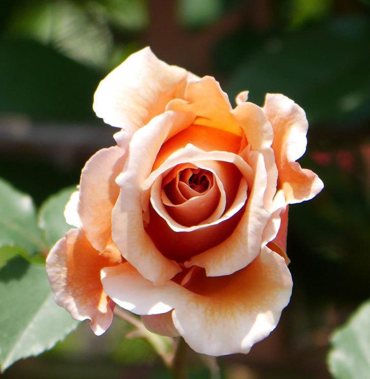 つるジュリア(ツルバラ)の花が咲いた。2019年-16.jpg