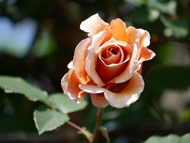 つるジュリア(ツルバラ)の花が咲いた。2019年-18.jpg