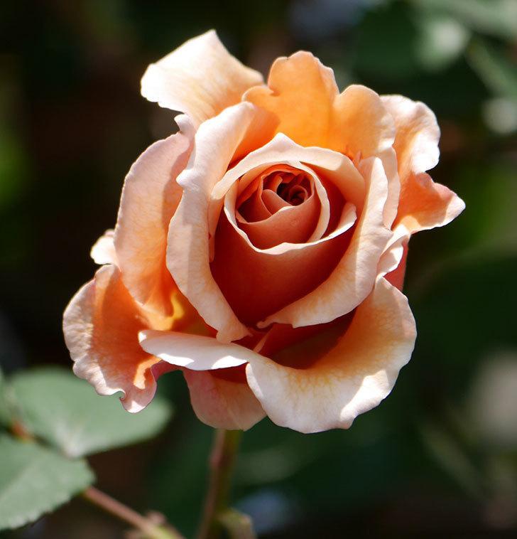 つるジュリア(ツルバラ)の花が咲いた。2019年-19.jpg