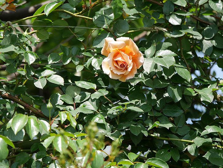 つるジュリア(ツルバラ)の花が咲いた。2019年-2.jpg