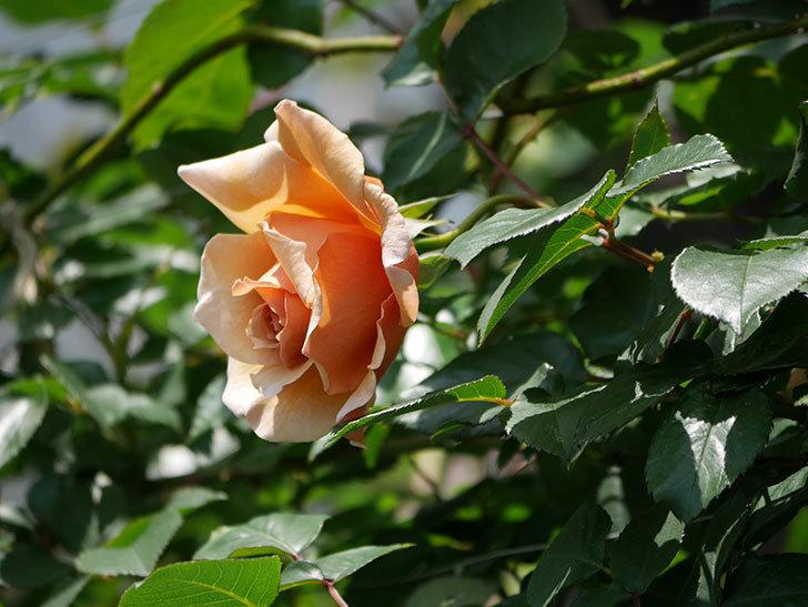つるジュリア(ツルバラ)の花が咲いた。2019年-20.jpg